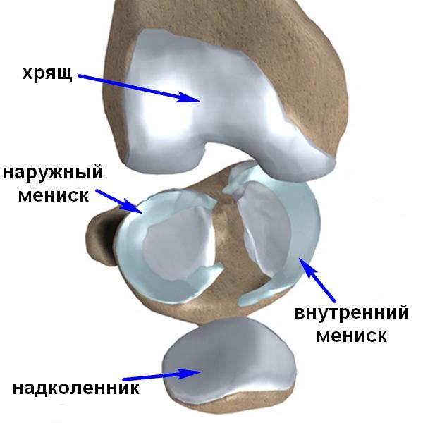 Поверхность соприкасающихся костей также покрыта гладкой хрящевой тканью, что значительно снижает трение и увеличивает долговечность сустава