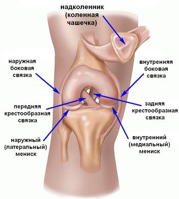 Коленный сустав содержит 2 крестообразных связки: переднюю и заднюю