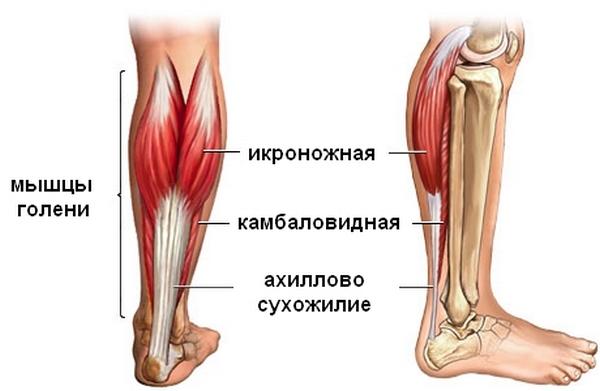 Ахиллово сухожилие располагается в нижней части ноги и обеспечивает подъем стопы (движение носком вверх)